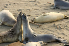 Elephant seals mating at the beach royalty free stock photography