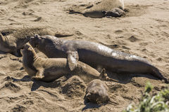 Elephant seals mating and raping on California coast Stock Image