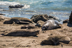 Elephant seals during mating season on California coast Royalty Free Stock Images