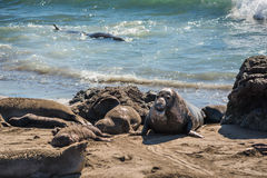 Elephant seals during mating season on California coast Stock Photos