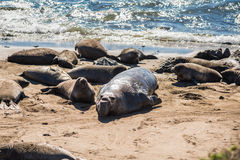 Elephant seals during mating season on California coast Stock Photography