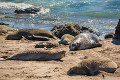 Elephant seals during mating season with dead on California coast Stock Photography