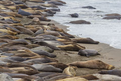 Elephant Seals - (Mirounga angustirostris) Stock Photo