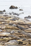 Elephant Seals - (Mirounga angustirostris) Royalty Free Stock Photography