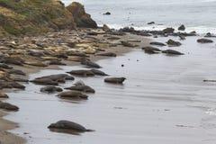 Elephant Seals - (Mirounga angustirostris) Royalty Free Stock Image