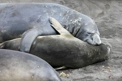 Elephant Seals, Mirounga Leonina, Antarctica Stock Photo