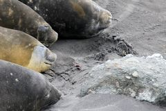 Elephant Seals, Mirounga Leonina, Antarctica Royalty Free Stock Images
