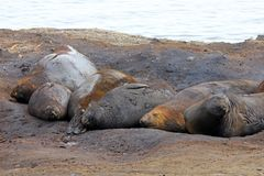 Elephant Seals, Mirounga Leonina, Antarctica. Elephant Seals, Mirounga Leonina, Antarctic Peninsula Antarctica Stock Photos