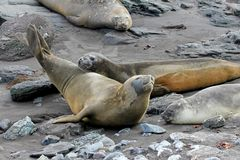 Elephant Seals, Mirounga Leonina, Antarctica. Elephant Seals, Mirounga Leonina, Antarctic Peninsula Antarctica Stock Image