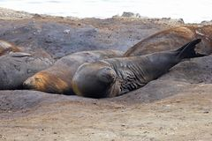 Elephant Seals, Mirounga Leonina, Antarctica. Elephant Seals, Mirounga Leonina, Antarctic Peninsula Antarctica Royalty Free Stock Photography