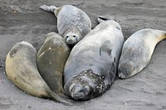 Elephant Seals, Mirounga Leonina, Antarctica Royalty Free Stock Photo