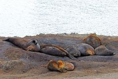 Elephant Seals, Mirounga Leonina, Antarctica Royalty Free Stock Photography