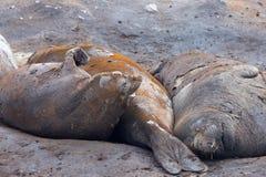 Elephant Seals, Mirounga Leonina, Antarctica. Elephant Seals, Mirounga Leonina, Antarctic Peninsula Antarctica Stock Photo