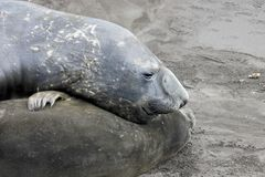 Elephant Seals, Mirounga Leonina, Antarctica. Elephant Seals, Mirounga Leonina, Antarctic Peninsula Antarctica Royalty Free Stock Image