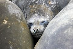 Elephant Seals, Mirounga Leonina, Antarctica Stock Photos