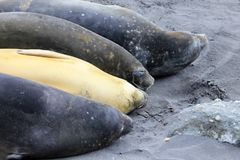 Elephant Seals, Mirounga Leonina, Antarctica Stock Photography