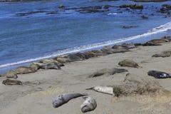 Elephant seals Royalty Free Stock Photography