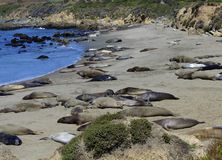 Elephant seals Stock Image