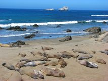 Elephant seals near Big Sur, California Royalty Free Stock Image