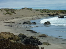 Elephant Seals near Hearst Castle. View of the ocean and sand dunes with wildlife Stock Photography