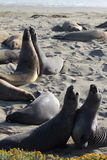 Elephant Seals Pair Fight Stock Photo