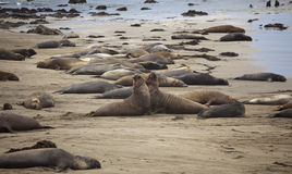 Elephant Seals at Piedras Blancas,CALIFORNIA Royalty Free Stock Image