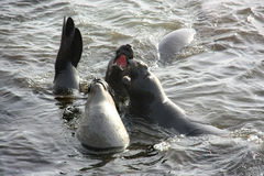 Elephant seals playing the in water Royalty Free Stock Image