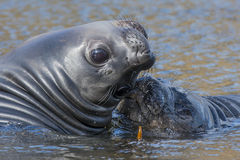 elephant seals pups Stock Images