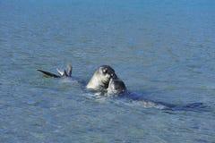 elephant seals pups Royalty Free Stock Photo