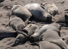 Elephant Seals relaxing on the beach. Piedras Blancas Elephant Seal rookery Stock Image