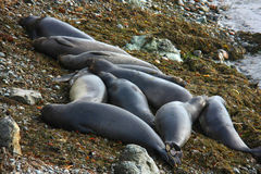 Elephant seals resting on beach Stock Photos