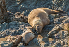 Elephant Seals Resting Stock Photography