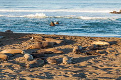 Elephant Seals Resting on the Beach Royalty Free Stock Photo