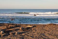 Elephant Seals Resting Stock Photo