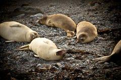 Elephant Seals Stock Photography
