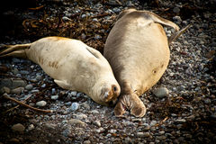 Elephant Seals Royalty Free Stock Images