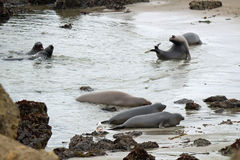 Elephant seals on a rocky beach Stock Photos