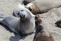 Elephant Seals #4 Stock Photography