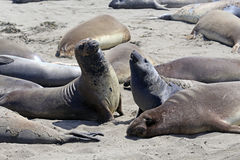Elephant Seals #1 Royalty Free Stock Image