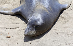Elephant Seals #6 Stock Photography