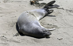 Elephant Seals #3 Royalty Free Stock Photos