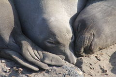 Elephant Seals Sleep Royalty Free Stock Photography