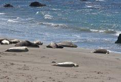 Elephant Seals sleeping Royalty Free Stock Photo