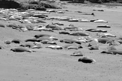 Elephant Seals sleeping Stock Photos