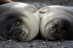 Elephant seals sleeping Royalty Free Stock Images