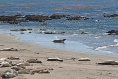 Elephant Seals sleeping and swimming Royalty Free Stock Image