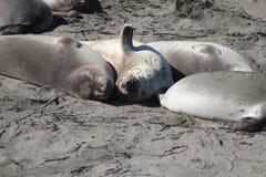 Elephant seals snuggled up sleeping Royalty Free Stock Image
