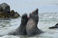 Elephant seals sparing on the beach Stock Photos