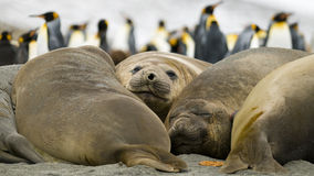 Elephant Seals Taking a Break. A group of Elephant Seals lying side by side, with King Penguins in the background - South Georgia royalty free stock photo