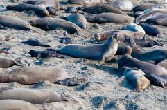 Elelphant Seal Rookery Squabble. Elephant Seals vying for territory in their birthing rookery on the central coast of California royalty free stock image